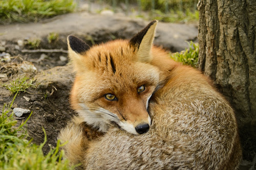 Foxy by Andreea Alexe - Animals Other Mammals ( staring, fox, color, outdoor,  )