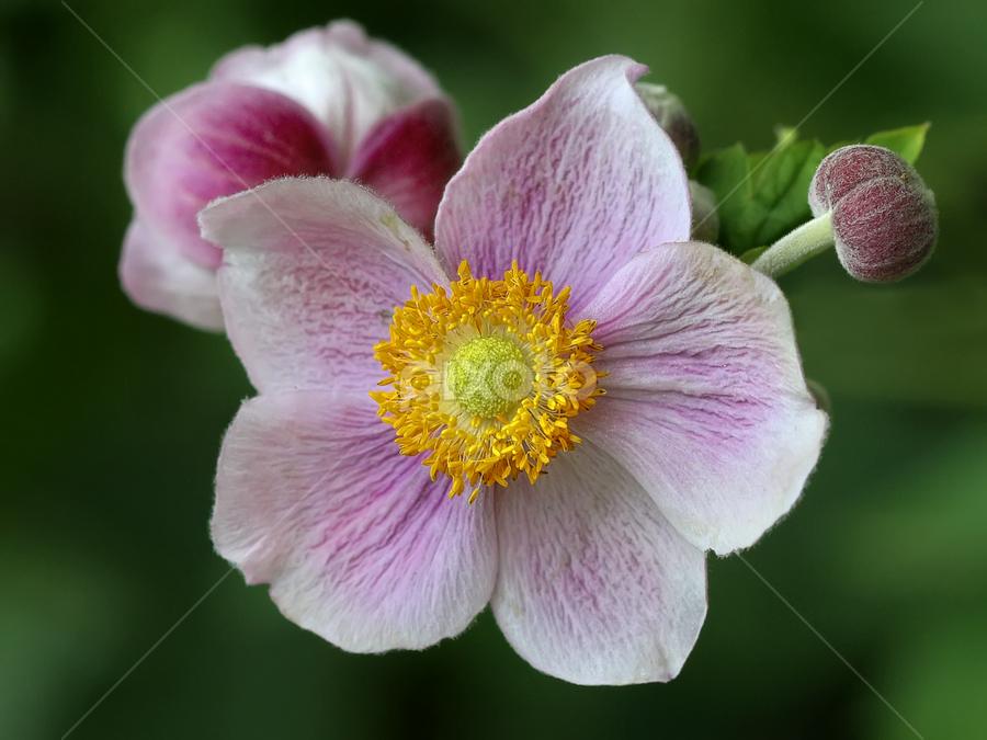 Anemone by Nikola Vlahov - Flowers Single Flower ( showy, petals, anemone, bokeh, flower )