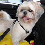 Dicas para viajar de carro com seu cachorro