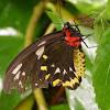 Cairns Birdwing (female)