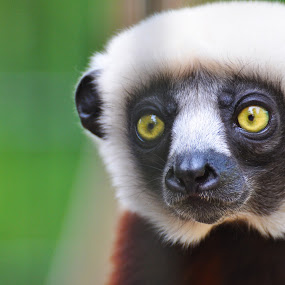 Coquerel's Sifaka by Jamie Tambor - Animals Other Mammals ( coquerel's sifaka, primate, lemur, close up, monkey, madagascar )