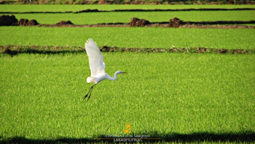 An Egret in flight at Candaba Wetlands
