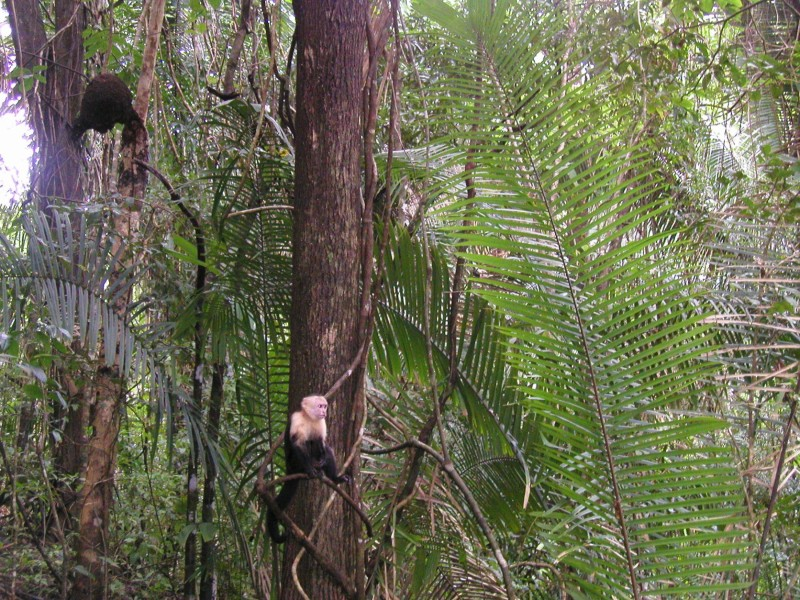 monkey at Manuel Antonio National Park costa rica