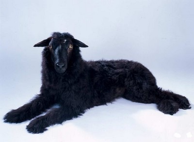 Thomas Grunfeld, misfit (sheep/Bouvier), 2007 - Taxidermy