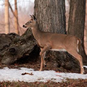by Lynn Patterson - Animals Other ( michigan wildlife, nature, wildlife, deer, animal )