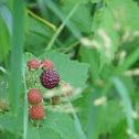 North American Black Rasberry