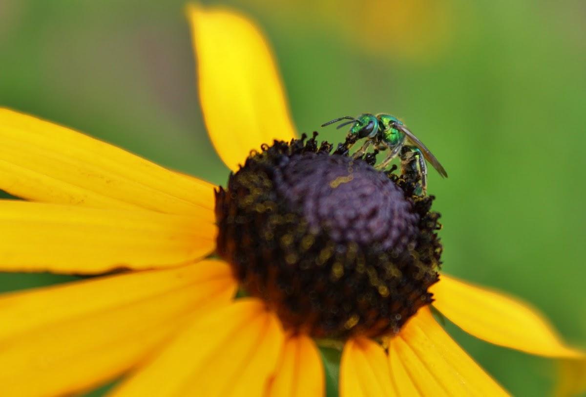 Augochlora Sweet Bee