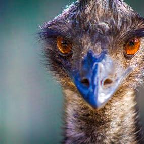 The eyes of the Emu by Amro Labib - Animals Birds ( scary, face, animals, faces, park, zoom, wildlife, emu, bokeh, birds, posing, portrait, eyes, bird, pose, zoo, nature, start trial, portraits, natural, animal )