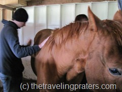 grooming the horses