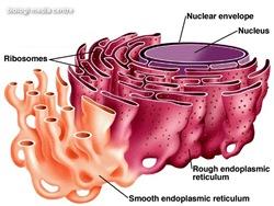 endoplasmic_reticulum
