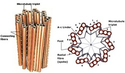 structure-of-centriole