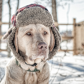 Low Profile by Lorella Johnson - Animals - Dogs Portraits ( dog labrador snow winter hat )