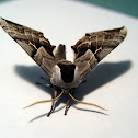 One-eyed Sphinx Moth