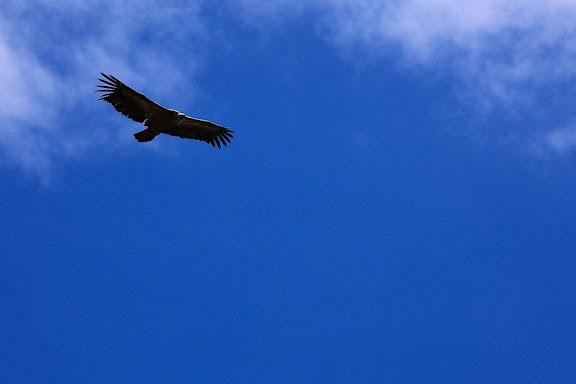 Voltor a la collada de Castellet, EIN Alta vall de Serradell, Tremp, Pallars Jussˆ, Lleida