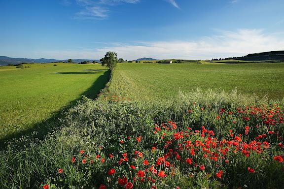 Camps de cereal a la primavera, la Baixa Segarra, Santa Coloma de Queralt, Conca de Barberà, Tarragona