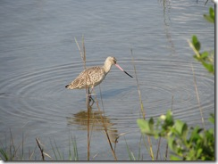 5361 Long-Billed Curlew on Nature Walk South Padre Island Texas