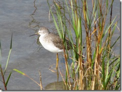 5362 Sandpiper on Nature Walk South Padre Island Texas