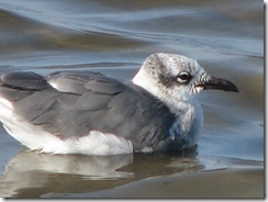 5686 Laughing Gull South Padre Island Texas