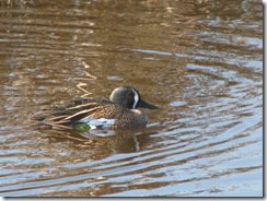 5621 male Blue-winged Teal South Padre Island Texas