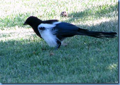 9317 Magpie at Bozeman MT