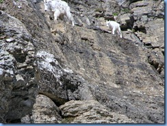 9571 Mountain Goat Going To The Sun Road GNP MT