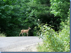 1280 Black Tail Deer West Cascade Oregon Scenic Byway OR