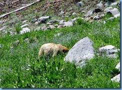 1696 A Blonde Black Bear Lassen Volcanic National Park CA