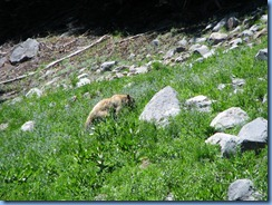 1695 A Blonde Black Bear Lassen Volcanic National Park CA