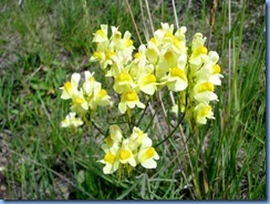 5992 CO-145 San Juan Skyway Scenic Byway Snapdragons CO