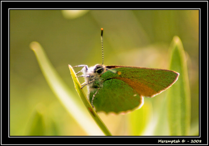 Papillon Vert Meremptah 2yeuxet1plume Papillon ailes feuilles camouflage