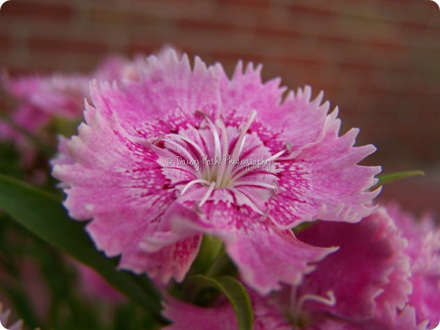 Dianthus - Click to Enlarge