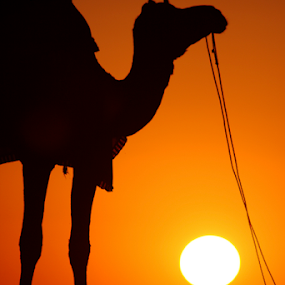 Orange by Ajay Sood - Landscapes Deserts ( pwcsummer, camel, jaisalmer, desert, rajasthan, sunset, silhouette, photo images from india, india, travelure, travel, sun )