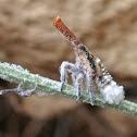 Malagasy Lantern Bug Nymph
