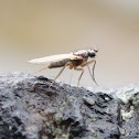 Pointed Wing Fly