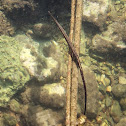 Greater pipefish