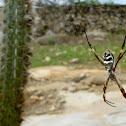 Aranha de teia geométrica