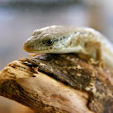 Northern Alligator Lizard