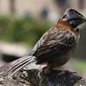 Rufous Collared Sparrow