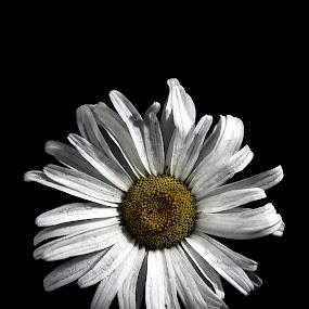 Daisy 0714B by Benjamin Howen III - Flowers Single Flower ( macro, nature, petals, daisy, bloom, flower )