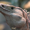 Black spiny-tailed iguana, black iguana, or black Ctenosaur