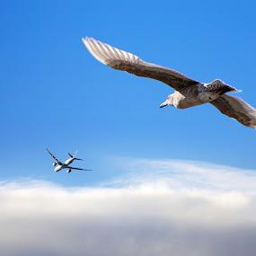 In Flight by Sunny Zheng - Animals Birds ( seagull, airplane, bird, fly, flight )