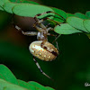 Marbeled Orb Weaver Spider