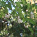 California snowberry