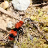 Velvet Ant or Cow Killer