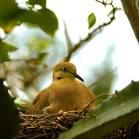 Nesting White-winged Dove (Zenaida asiatica) by Siggy In Costa Rica - Animals Birds ( bird, nest, dove,  )