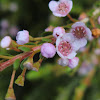 Rock Thryptomene