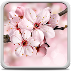 Kirschblüte Hintergrundbilder icon