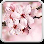Cherry Blossom Live Wallapper 4.0 Apk