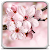 Cherry Blossom Live Wallapper file APK Free for PC, smart TV Download