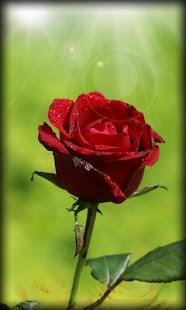 Roses Live Wallpaper aCZNVZ8Ej1vtQPdr8f8d